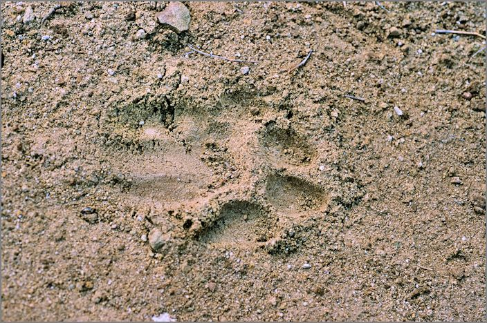 Mountain Lion Track, Fremont Staging Area, Irvine Ranch Natural Landmarks, May 6, 2014