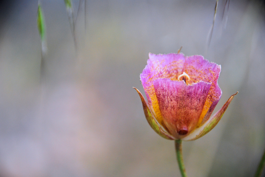 Weed's Mariposa Lily, Billy Goat Trail, Whiting Ranch Wilderness Park